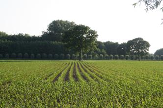 Jonge maïsplatjes in het gelid